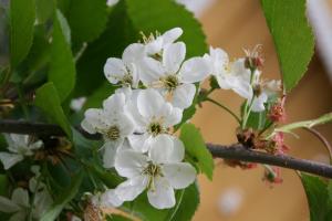 Kirsebærblomstring
